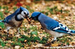Two Bluejays Sharing