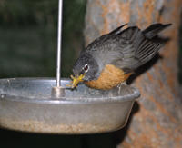 Dinner Bell Robin Mealworms