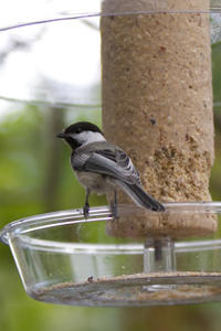 Chickadee with cylinder
