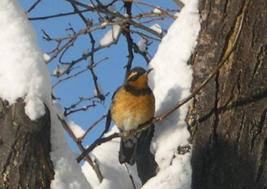Varied Thrush Chuck Ferguson