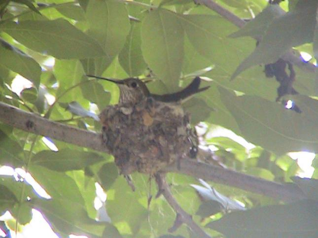Hummingbird Nest in Littleton Mason