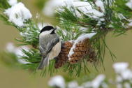 Chickadee Snow Cones Small