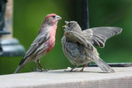 Begging House Finch Small